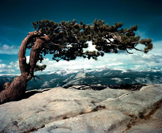 ansel adams pine tree - photo #8